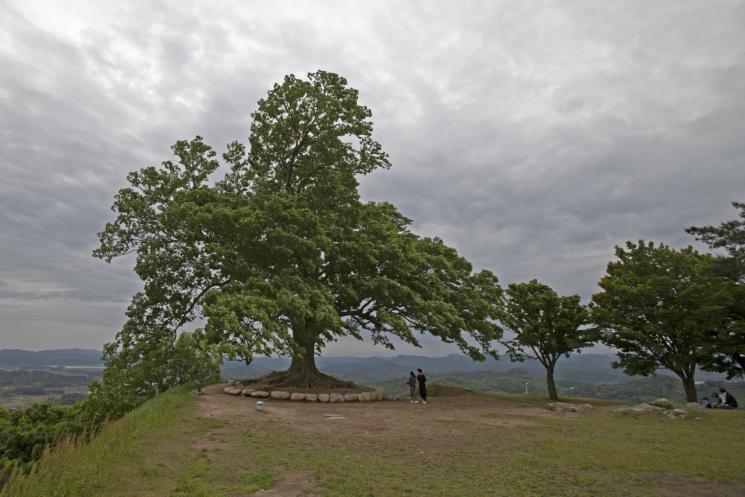 고려 개국공신 유금필 장군의 지팡이가 자랐다는 전설을 품고 살아온 부여 가림성 느티나무.