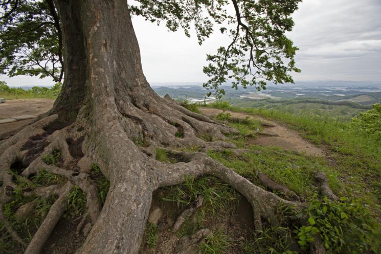 땅 위로 솟아나 꿈틀거리며 뻗은 신비로운 형상의 뿌리 부분.