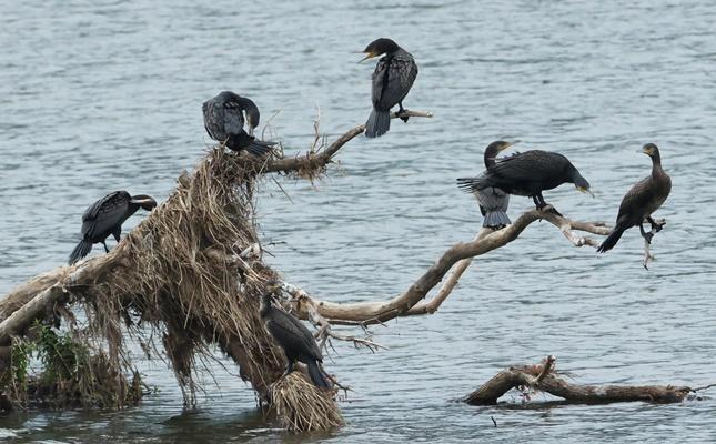 [포토] 나그네 새 '바다 가마우지' 여유로운 휴식