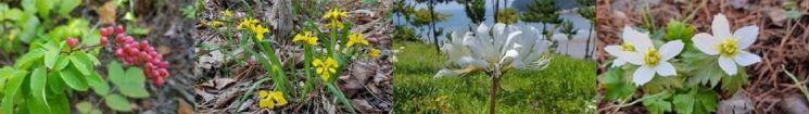 왼쪽부터 멸종위기종인 청사조와 노랑붓꽃, 위기종인 위도상사화와 모데미풀