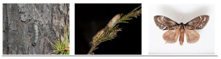 솔나방은 번데기, 성충, 유충 등의(왼쪽부터) 변태과정을 거치며 유충이 된 시점부터 소나무에 식해하며 식엽 피해를 야기한다. 이에 산림청은 솔나방 변태과정에 맞춘 방제활동으로 피해를 최소화하는 데 주력할 방침이다. 산림청 제공