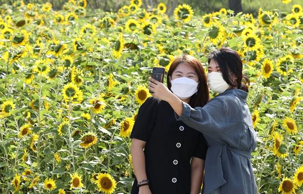 무더운 여름 활짝 피어난 해바라기를 보며 사진을 찍고 있다. / ⓒ 아시아경제
