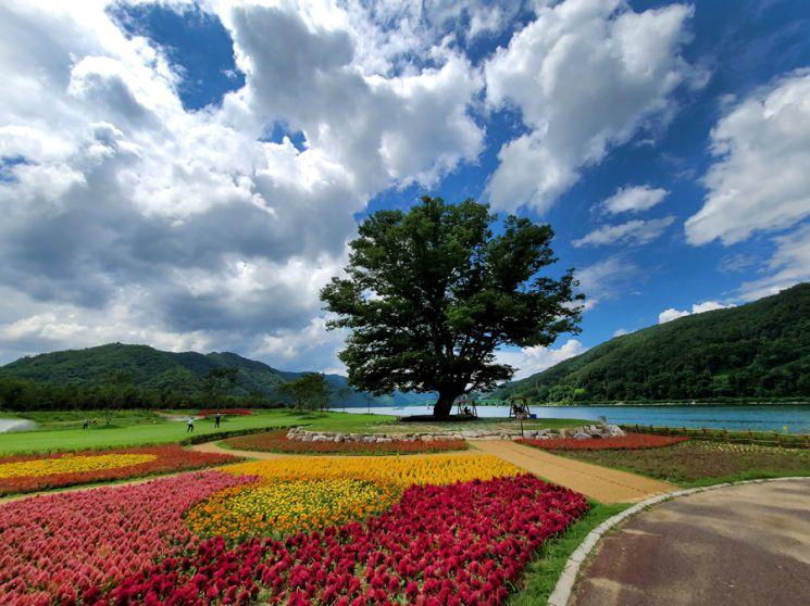 화천 북한강 상류에서 가장 돋보이는 풍경은 강변에 나 홀로 우뚝 서 있는 거례리 사랑나무다. 그 자태가 보기 드물게 우아하고 어딘가 범상치 않다. 하늘은 높아지고 알록달록 가을로 접어드는 이때 넓은 나무 그늘 아래에 서 있으면 마치 다른 세상에 와 있는 것 같은 기분이 든다.