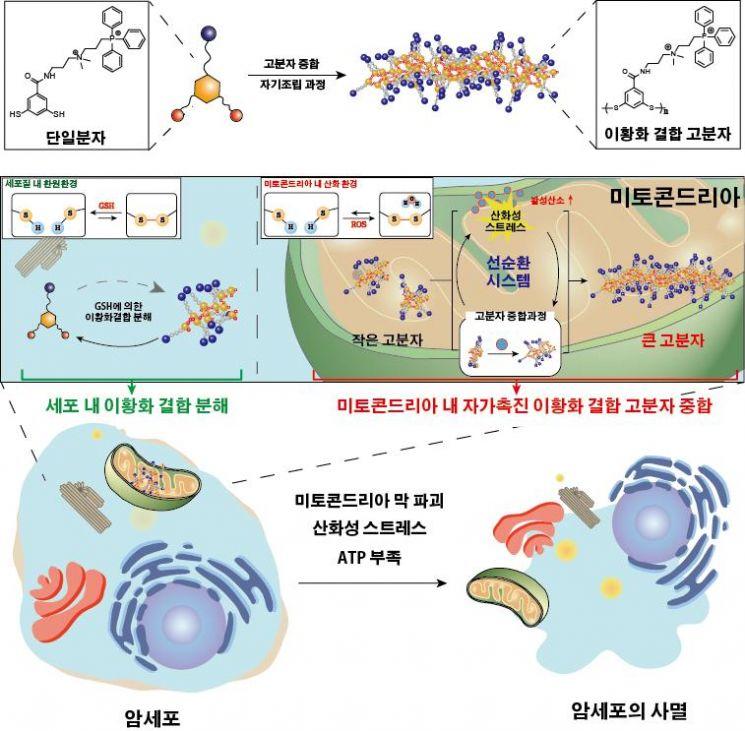 인공 단백질 고분자 중합을 통한 암세포 사멸 유도 모식도