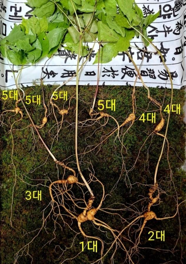 경남 함양군 지리산 자락에서 발견된 5대 가족 천종산삼. [이미지출처=한국전통심마니협회]