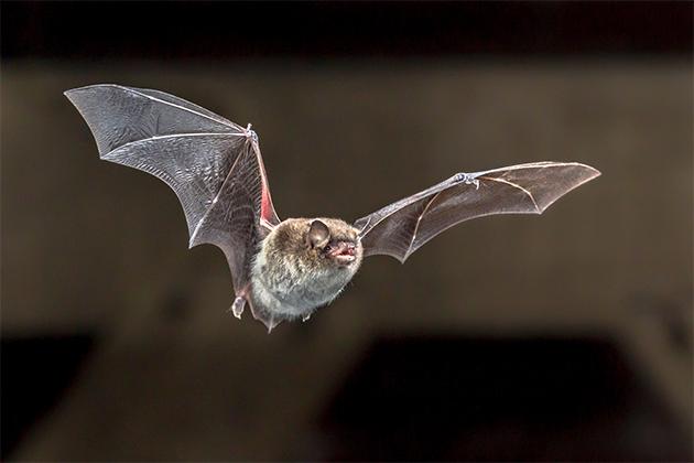 박쥐가 날고 있다. 사진은 기사의 특정 부분과 직접적인 관련 없음. [사진=게티이미지뱅크]