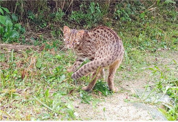 암사생태공원 발견된 멸종위기 야생생물 Ⅱ급 '삵'