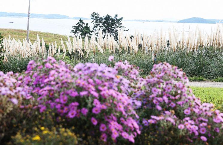 [포토] 손불 안악해변 가을을 부르는 팜파스