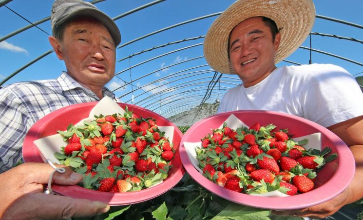 신등면 농가에서 권현갑·영민 부자가 올해 수확한 딸기를 선보이고 있다 [이미지출처=산청군]