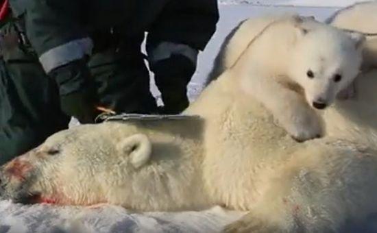 러시아 '북극곰' 집단 남하에 비상...지구온난화로 만성적 기아 시달려