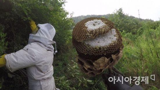 [말벌 주의보]②성묘·등산 중 말벌을 만났을 때 대처법은?