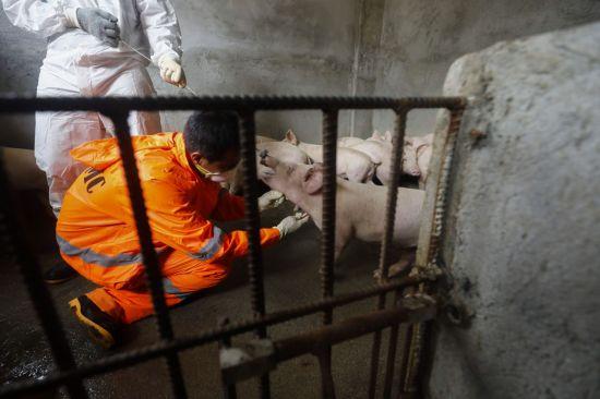 """日에서는 일반 돼지열병 확산…""""ASF 막기 위해 검역 등 대응 강화"""""""