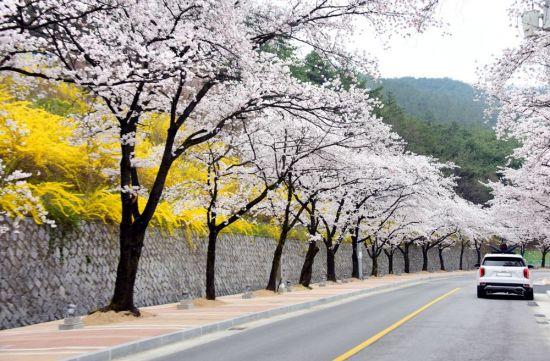 [조용준의 여행만리]흐드러지게 핀 벚꽃이 야속하지만‥그냥 지나갑니다