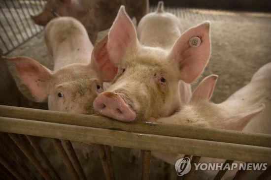 """중국 돼지서 신종 플루 바이러스 발견 """"대유행 될 가능성"""""""