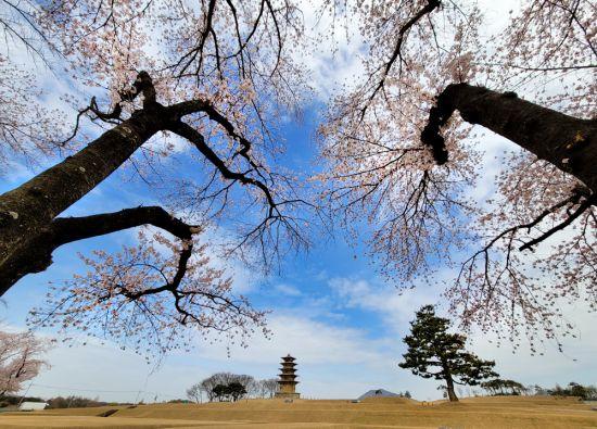 [조용준의 여행만리]꽃비 흩날리는 백제석탑, 고대왕국의 '찬란한 슬픔'