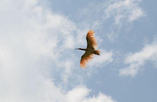 '보이지 않은' 따오기 우포하늘 날다